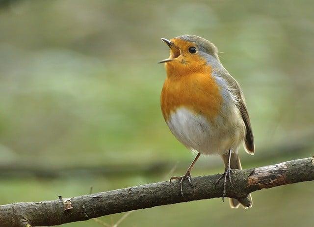 Zingen als een roodborstje