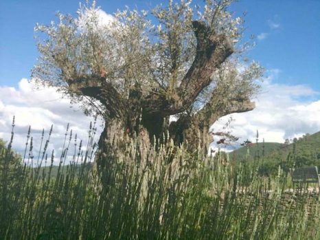 olijf achter lavendel